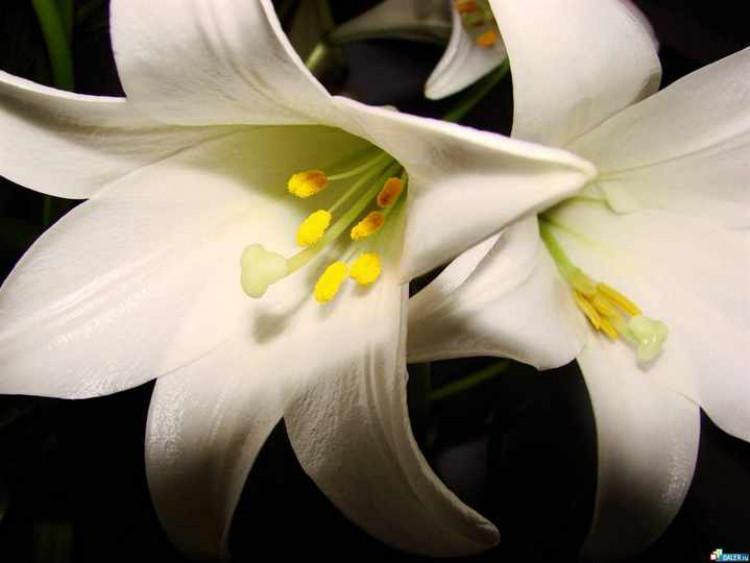 Белые-лилии